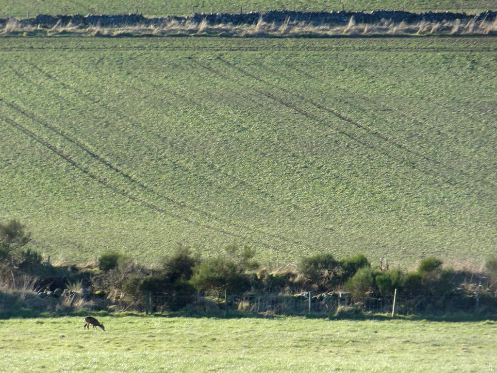 A deer feeding in fields near  Redcraigs