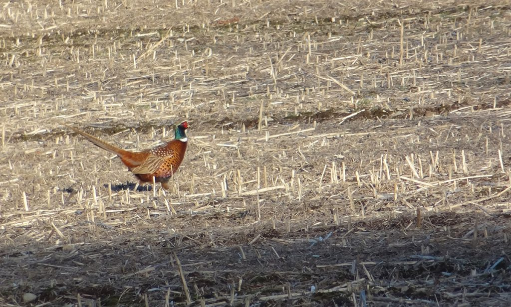 Pheasant in the field near the reservoir