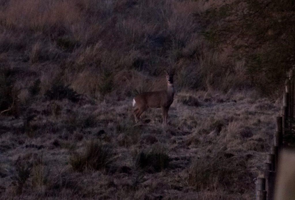 Deer beside Cairnwell hill