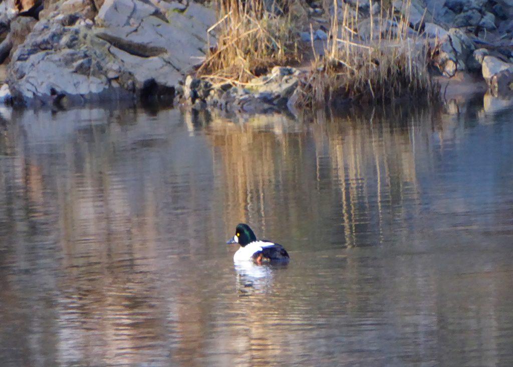 Duck no1