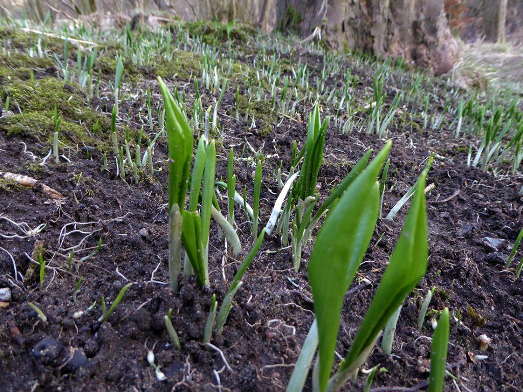 Wild garlic sprouts