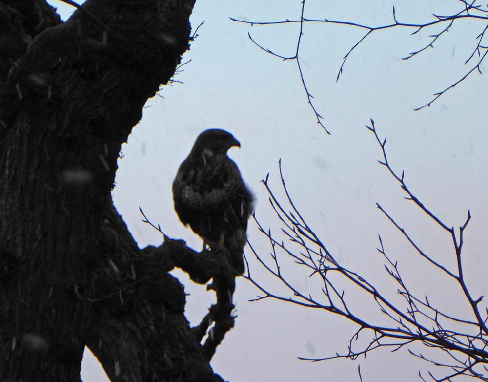 Bird of prey through the snow