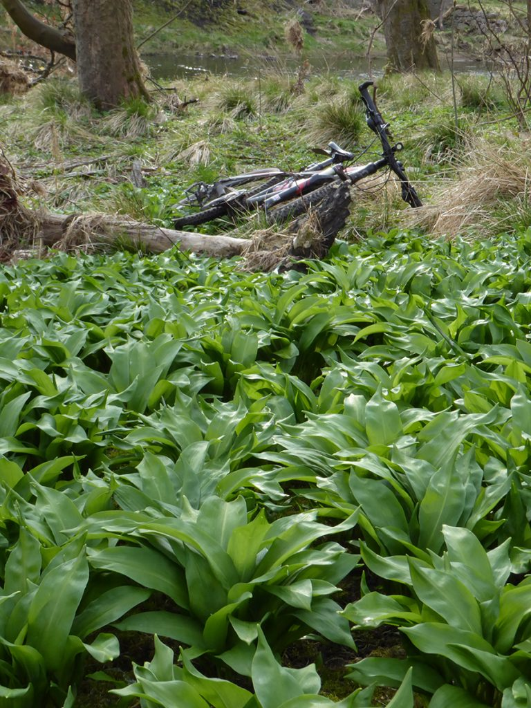 Gathering wild garlic