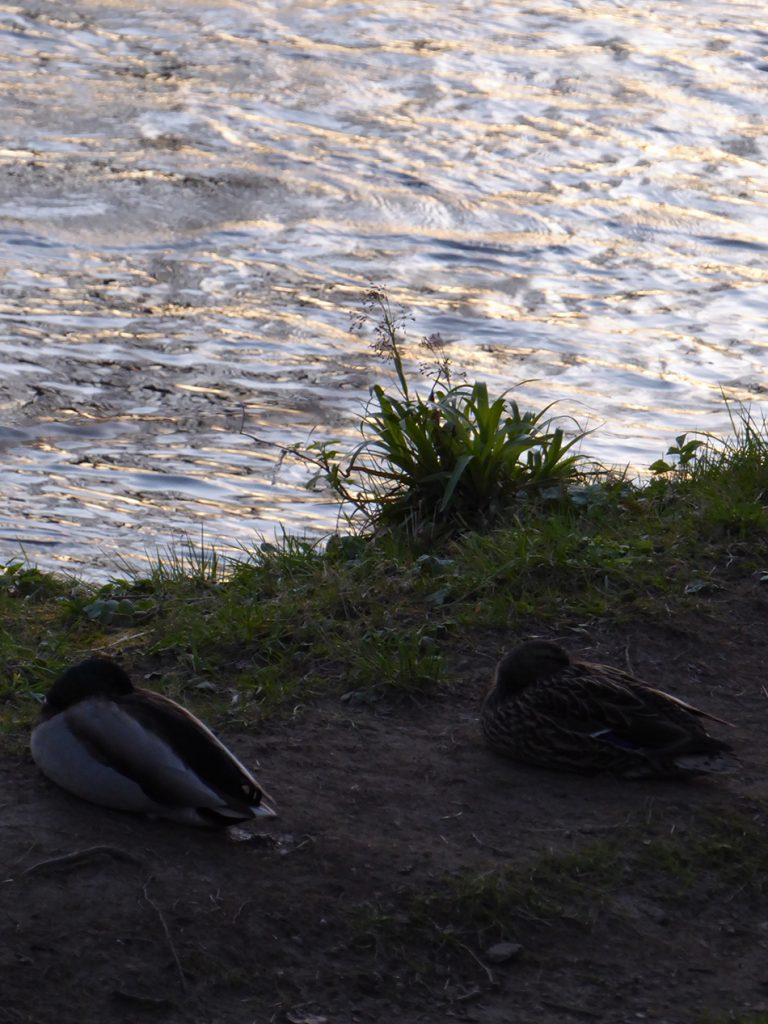 Sleepy ducks after a hard days paddling on The Don