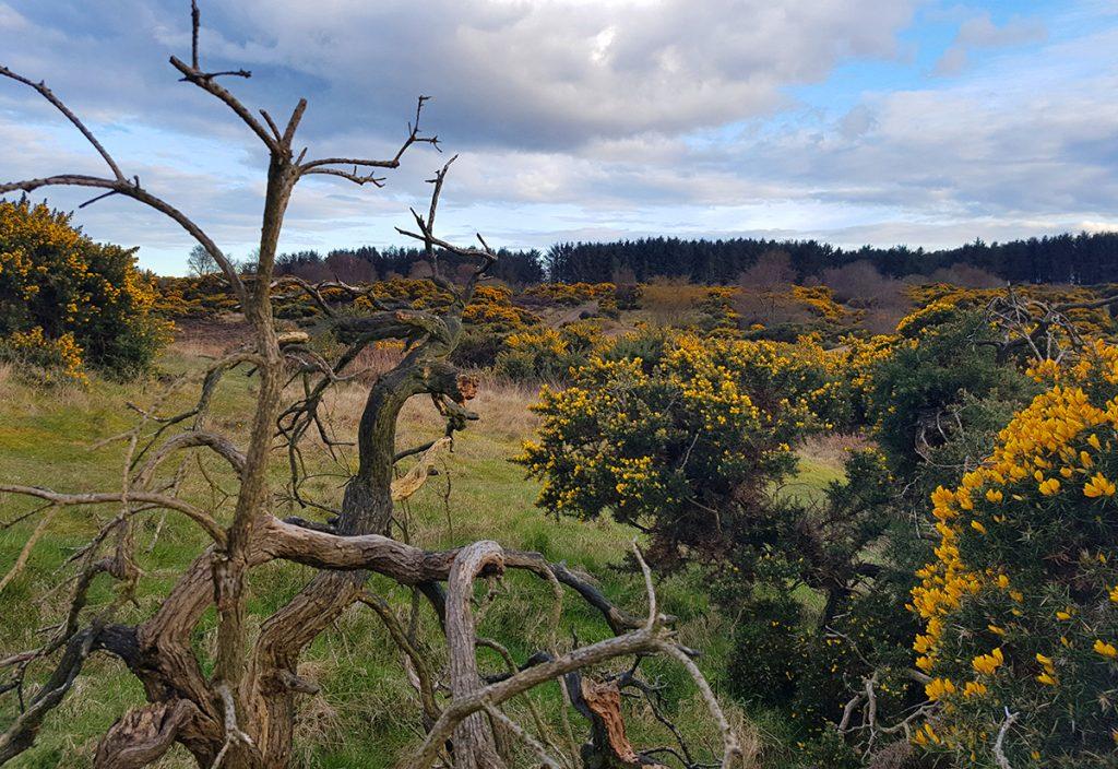Scotstown moor spooky old bush 2
