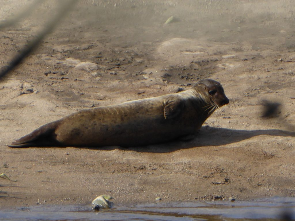 Seals at the Don bridge 3