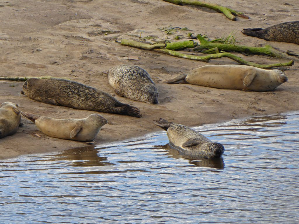Seals at the Don bridge 2