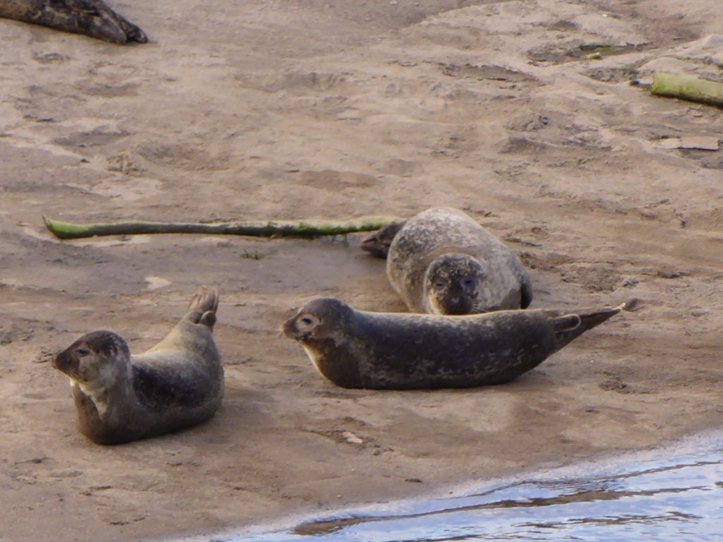 Seals at the Don bridge 1