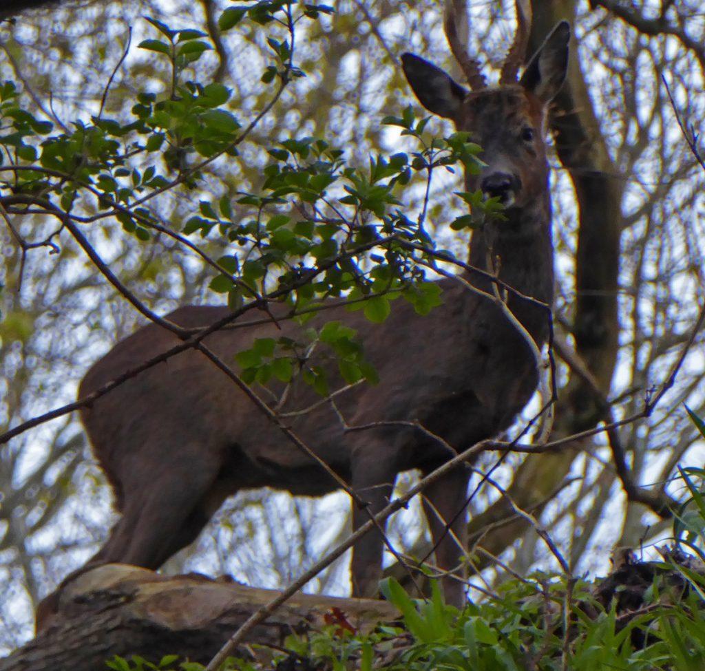 Deer at the brig 1