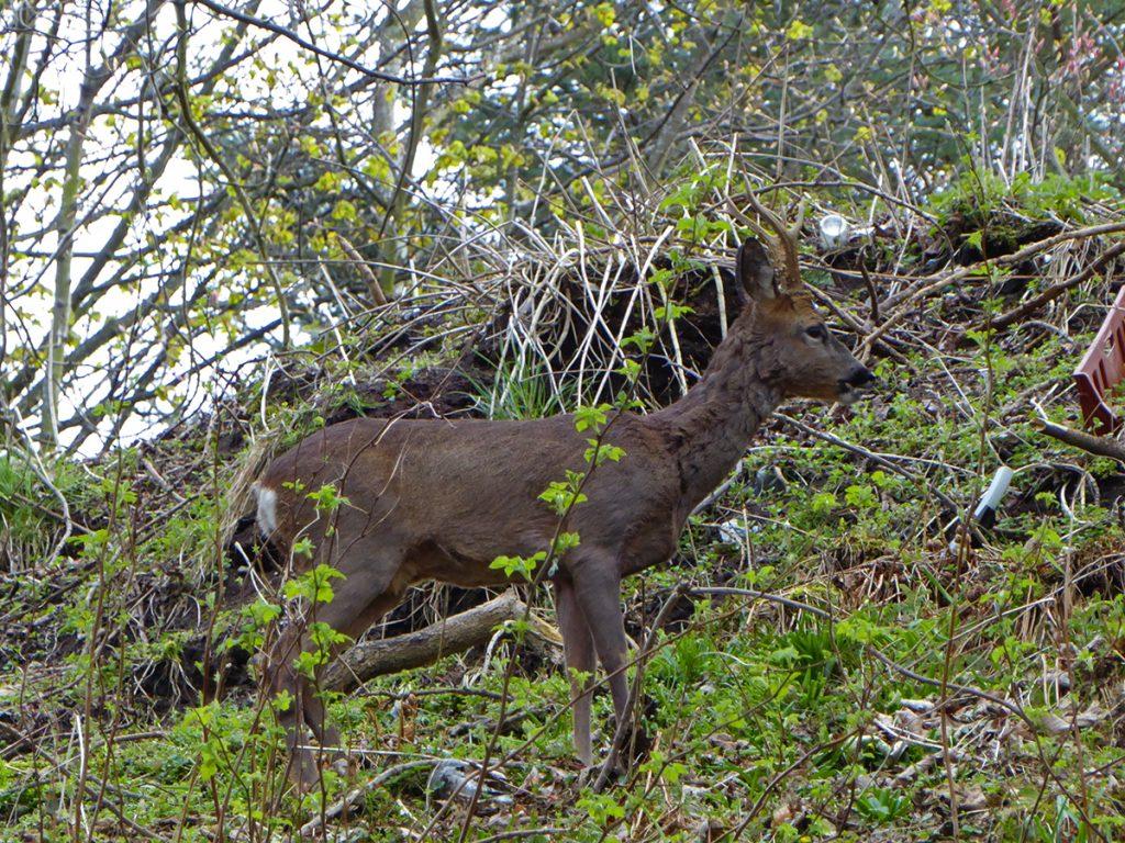 Deer at the brig 2