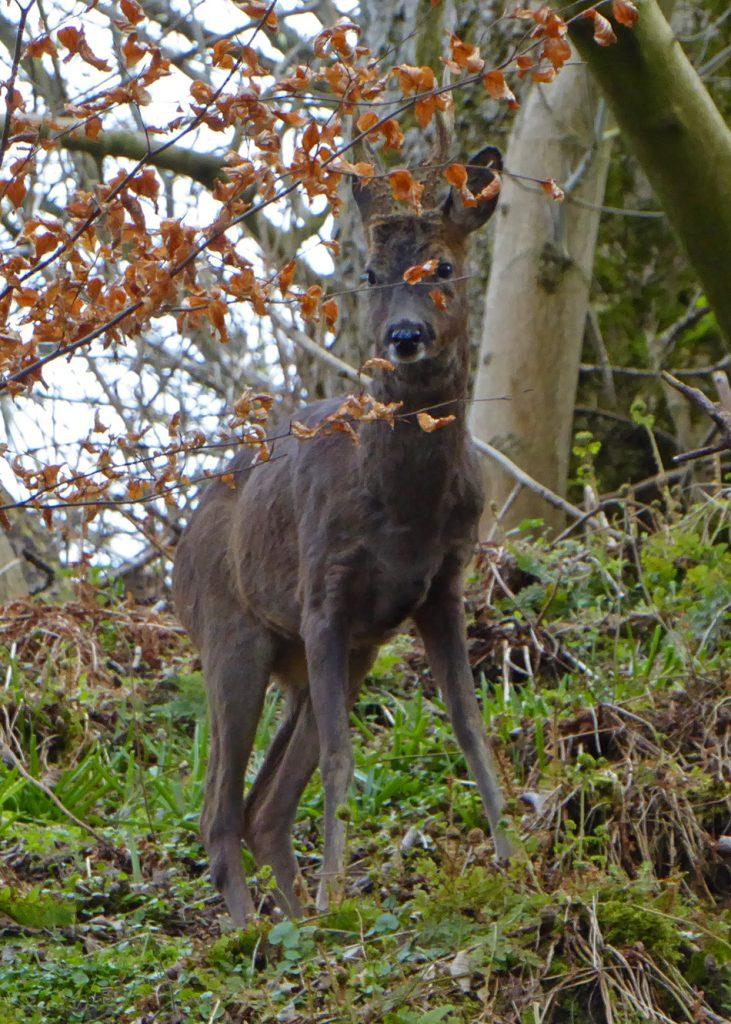 Deer at the brig 3