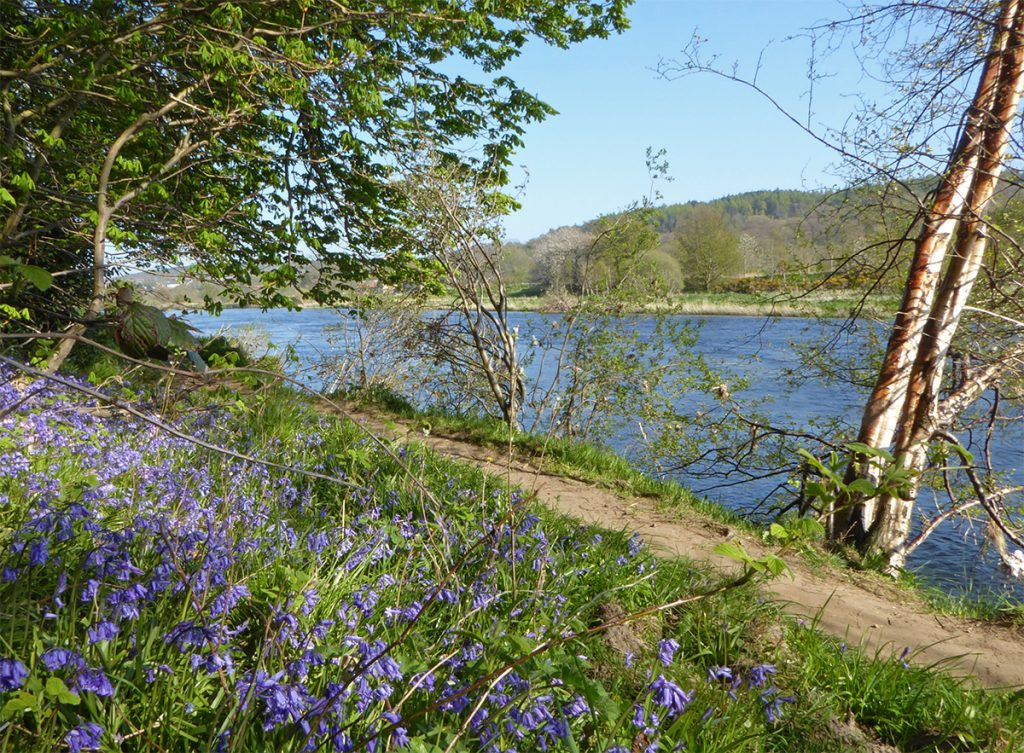 Bluebells by The Dee