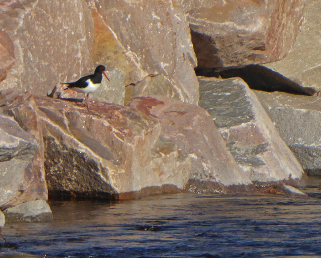 Oystercatchers rock
