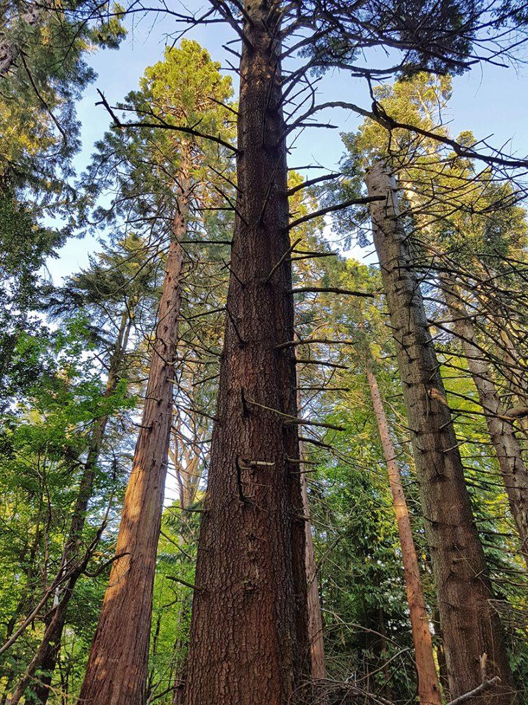Beannachar pines