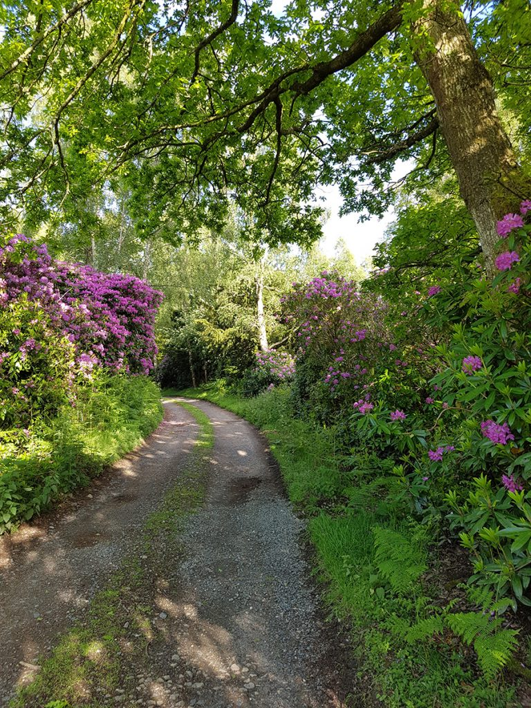 Rhododendrons 1