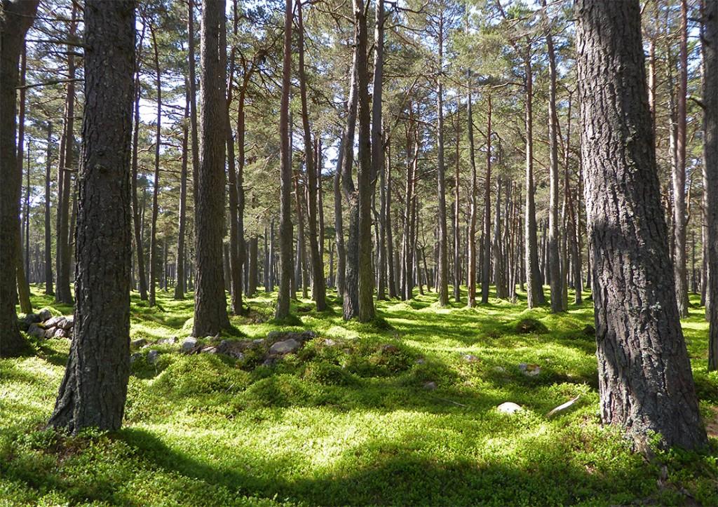 Allt na giubhsaich woods