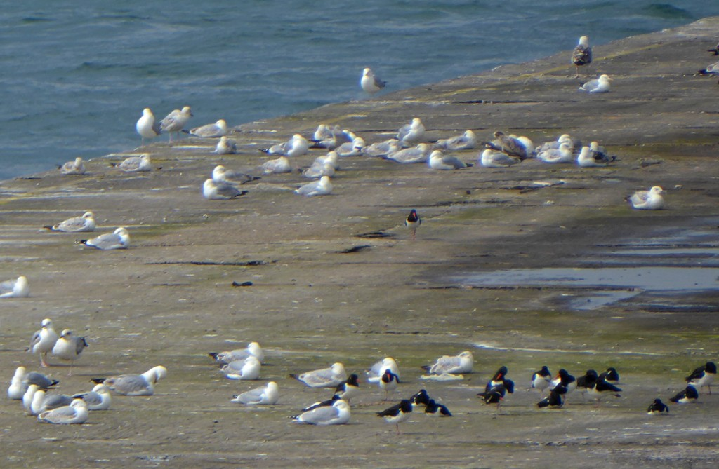 Oystercatchers and gulls on the harbour wall