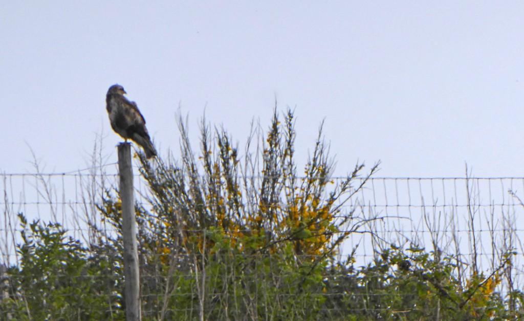 Tullos Hill buzzard