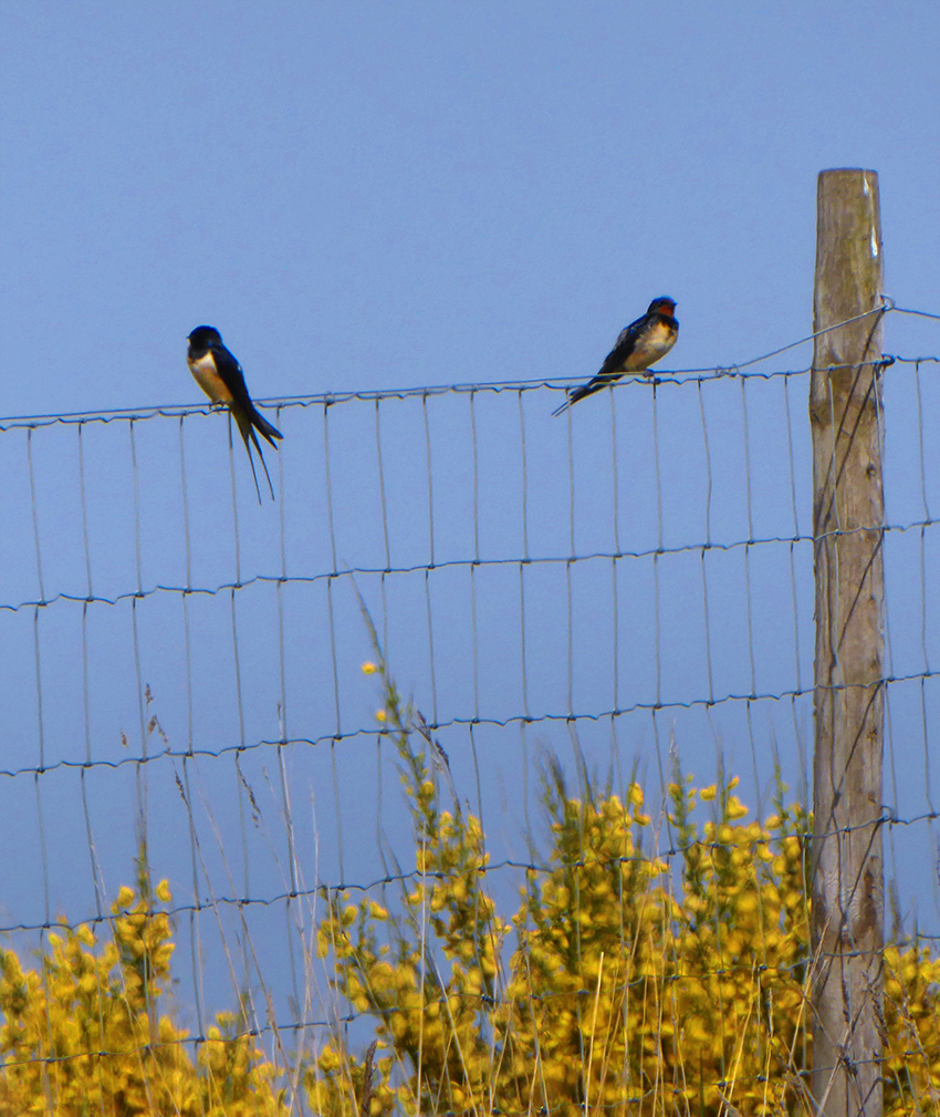 Resting Swallows