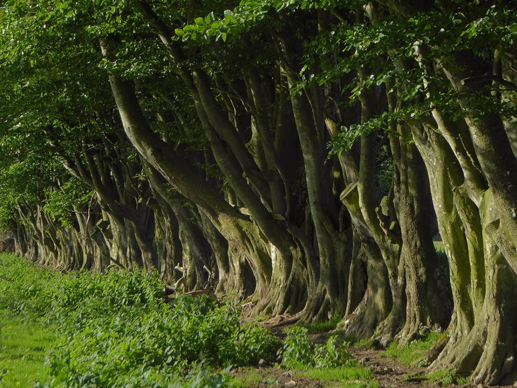 Tree hedge up close