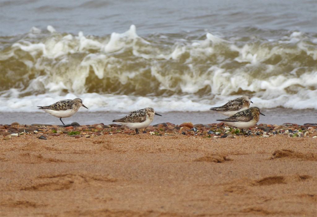 Sanderlings close-up