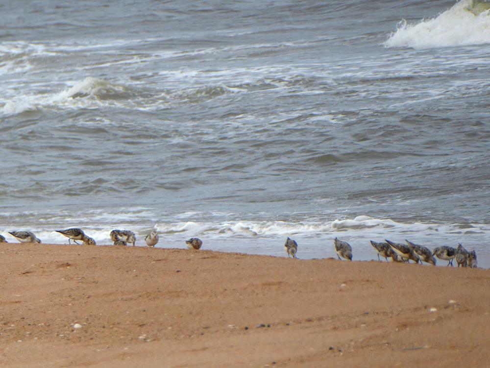 Sanderlings prowling