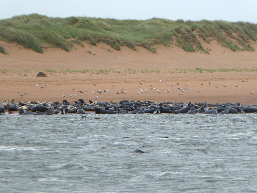 Ythan estuary seal haul out