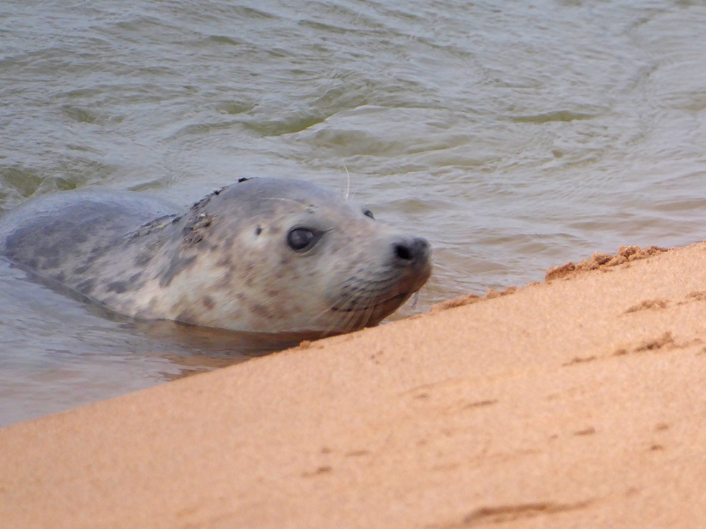 Curious baby seal