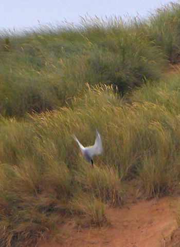 Arctic tern dive